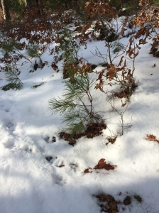 Pine seedling in Nickerson
