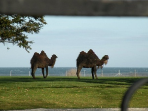 This is a tribute to the real camels that Doris used to keep on her back lawn