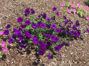 Colorful petunias in our front gardens