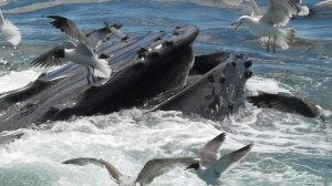whaleWatch-Ptown-20120606--102
